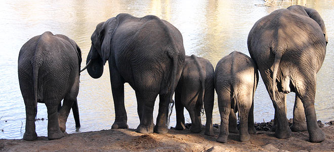 olifanten-mapungubwe